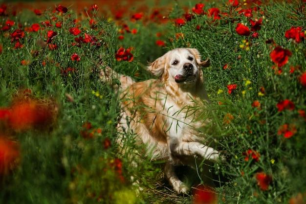 Милый золотистый ретривер в маковом поле