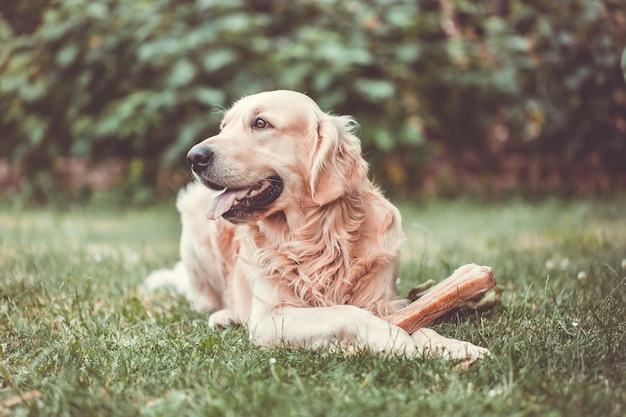 Cute golden retriever playing  eating with bone consists of some pork skin on the huge garden, looking happy