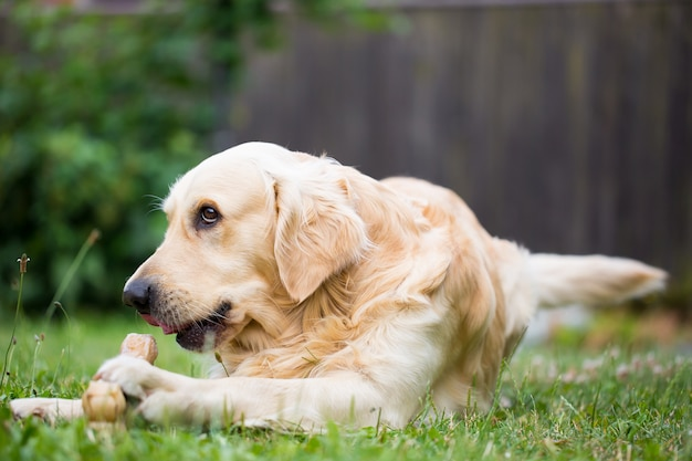 Cute golden retriever playing / eating with bone consists of some pork skin on the huge garden, looking happy