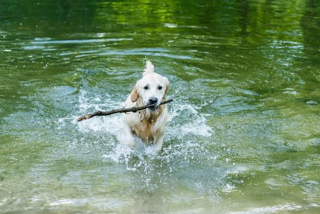 호수에 막대기를 가지고 노는 귀여운 골든 리트리버