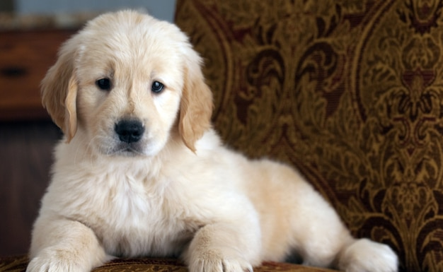 Cute golden retriever puppy resting on the couch
