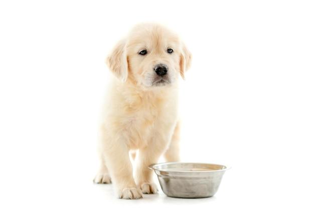 귀여운 골든 리트리버 강아지 그릇 근처에 앉아 음식을 기다리고 절연