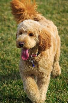 Cute goldendoodle dog