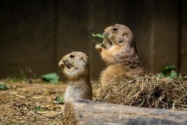 昼間にケージで乾いた草を食べるかわいいホリネズミ