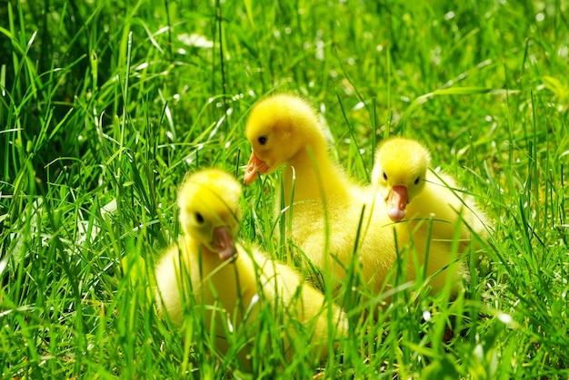 푸른 잔디에서 귀여운 고 슬링