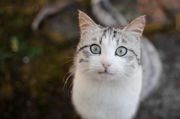 귀여운 회색과 흰색 고양이는 바닥에 앉아 카메라를보고 두려워