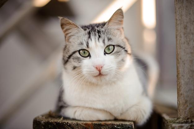 나무 보드에 누워 카메라를보고 밝은 녹색 눈을 가진 귀여운 회색과 흰색 고양이