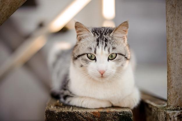 밝은 녹색 눈이 나무 보드에 누워 아래를 내려다 보는 귀여운 회색과 흰색 고양이
