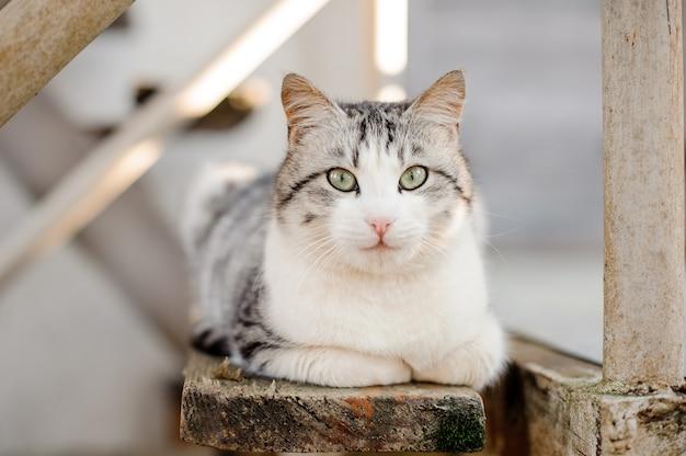 나무 보드에 누워 밝은 녹색 눈을 가진 귀여운 회색과 흰색 고양이