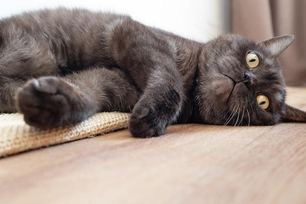 変な顔で床に横たわっているかわいい灰色の猫。動物に優しいテーマ。コピースペース
