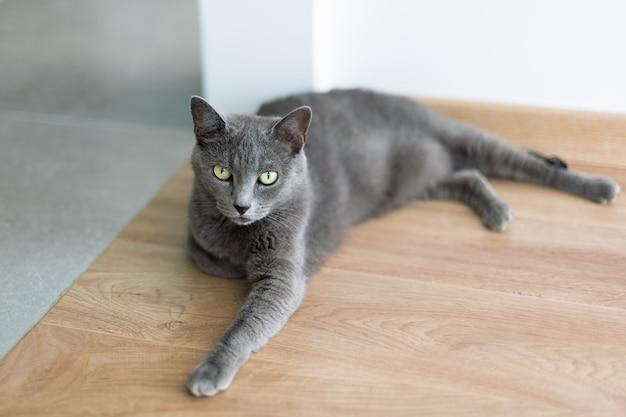 床に敷き詰められたかわいい灰色の猫、エレガントなロシアンブルーの猫の肖像画。
