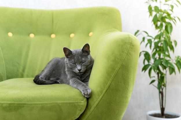 かわいい灰色の猫が伸びて、ソファでリラックスし、エレガントなロシアンブルーの猫の肖像画。