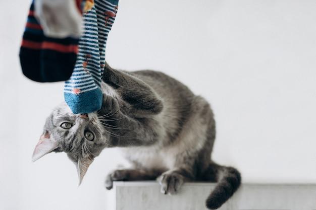 使用与色的袜子,滑稽的面孔的逗人喜爱的灰色猫。有趣的猫姿势。复制空间