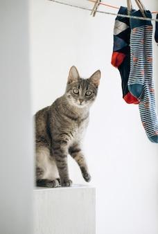 使用与色的袜子,滑稽的面孔的逗人喜爱的灰色猫