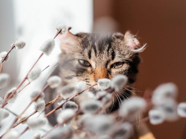 Милый серый кот нюхает ветки сережки ивы