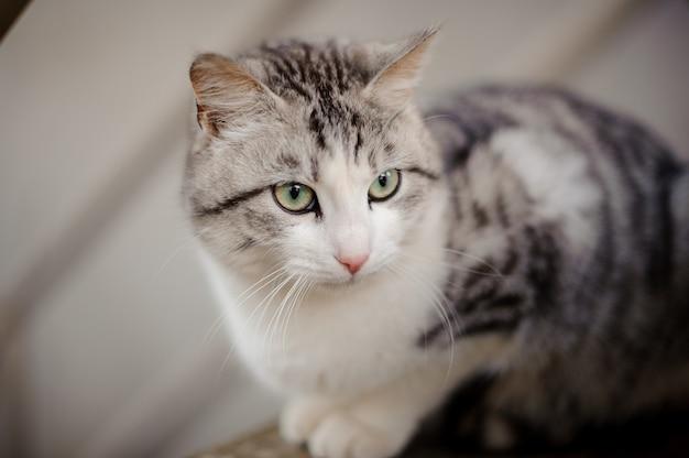 밝은 녹색 눈이 나무 보드에 앉아 멀리 보이는 귀여운 회색 고양이
