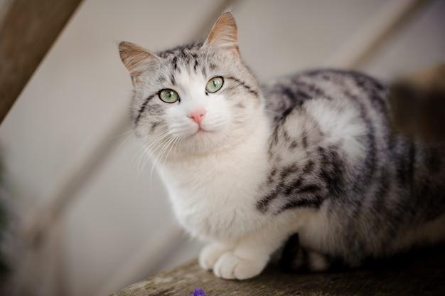 밝은 녹색 눈이 나무 보드에 앉아 올려다 보는 귀여운 회색 고양이