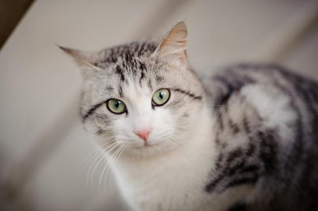 밝은 녹색 눈이 나무 보드에 앉아보고있는 귀여운 회색 고양이
