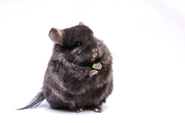 귀여운 회색 친칠라는 설치류의 흰색 바탕에 집 모피 동물을 먹는다