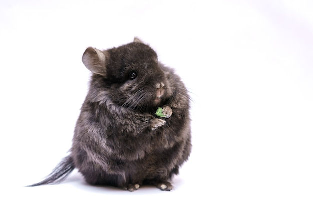 Cute gray chinchilla eats on a white background home furry animal from rodents