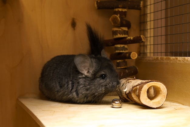 Cute gray chinchilla playing in a cage fluffy pet sitting in a house