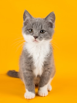 Cute gray kitten carefully looking at copyspace on a yellow .