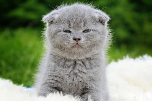 Cute gray kitten on fur white blanket on nature