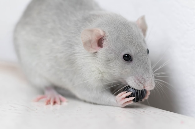A cute gray little decorative rat eats delicious and juicy blueberries. rodent close-up.