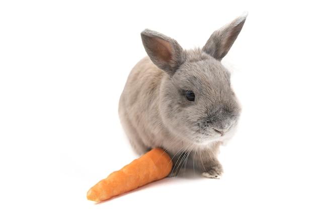 흰색 배경에 고립 된 당근과 함께 앉아 귀여운 회색 토끼
