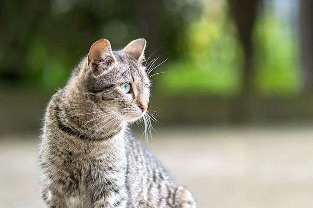 夏の通りに屋外に座っているかわいい灰色の縞模様の猫。