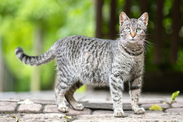 Cute gray striped cat standing outdoors looking in camera on summer street