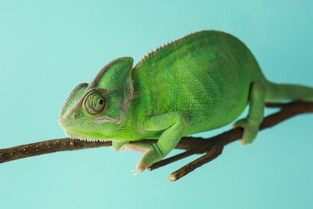 色の表面に対して枝にかわいい緑のカメレオン