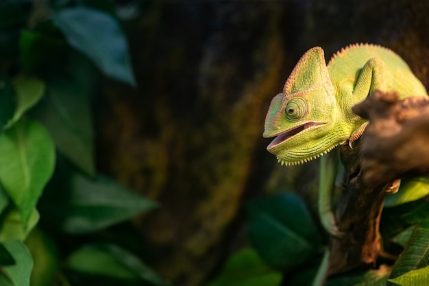 Cute green chameleon with its mouth open sits on branch