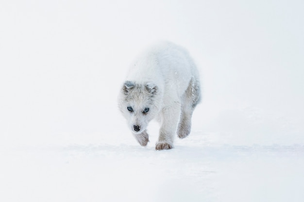 Cute greenland sled dog puppy walking in the snow