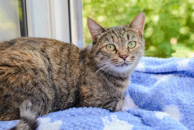 Милый серый взрослый кот сидит на окне на синем одеяле и смотрит в камеру