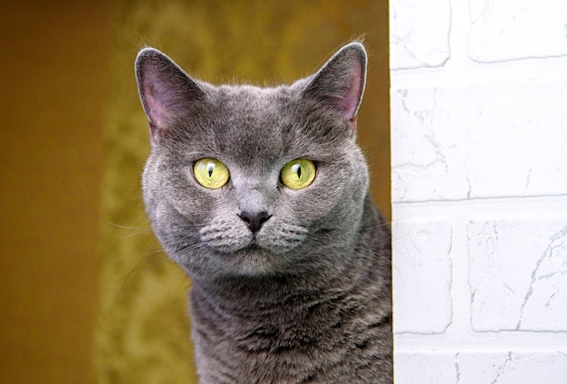 Симпатичная серая кошка британской породы смотрит в камеру.