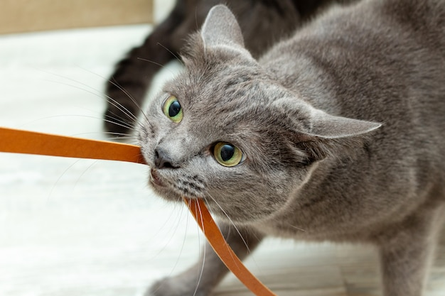 Cute grey cat playing leather cord