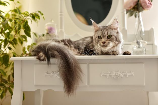 Симпатичный серый пушистый кот мейн-кун лежит на белом будуарном столике для макияжа в окружении цветов и растений
