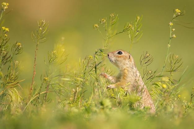 자연 서식 지에서 귀여운 땅 다람쥐 (spermophilus pygmaeus). 측면보기.