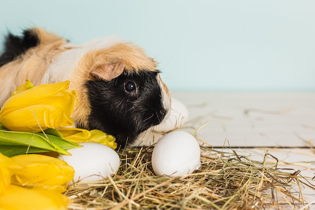 Cute guinea pig next to easter eggs and yellow fresh tulips over a wooden table with blue background