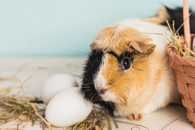 Cute guinea pig next to a straw pink basket filled with easter eggs and hay over a wooden table with blue background