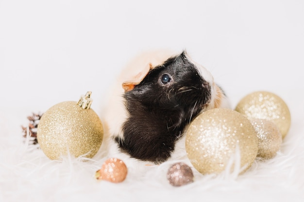 Cute guinea pig with shiny baubles