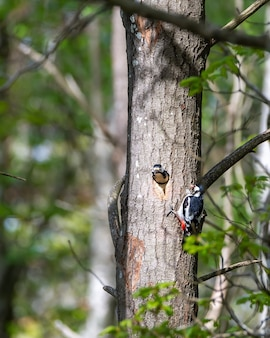 Cute hairy woodpecker feeding the baby woodpecker with insects
