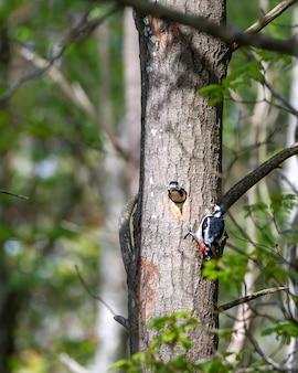 Милый волосатый дятел кормит дятла насекомыми