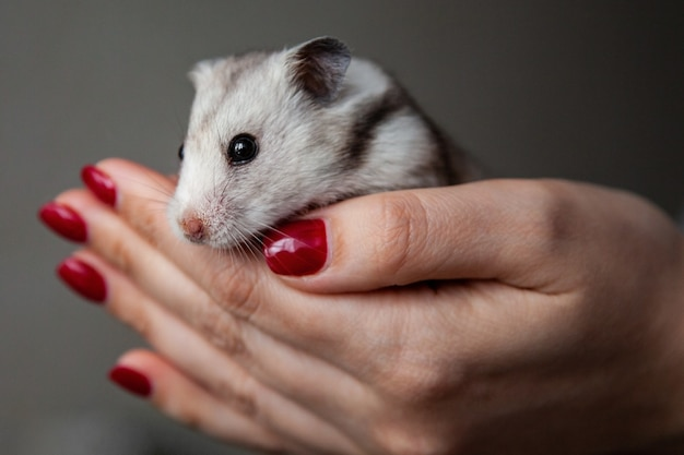 Cute hamster in the hands of a girl