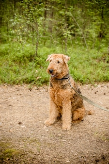 Cute happy airedale terrier portrait in summer forest.