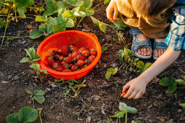 Cute and happy little brother and sister of preschool age collect and eat ripe strawberries in the garden on a sunny summer day. happy childhood. healthy and environmentally friendly crop.