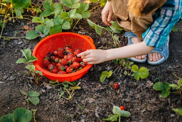 Cute and happy little brother and sister of preschool age collect and eat ripe strawberries in the garden on a sunny summer day.