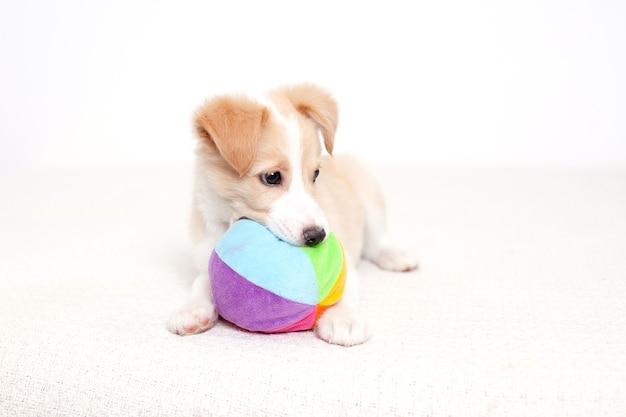 Милый счастливый щенок лежит рядом с мячом после активного игрового отдыха домашнее животное