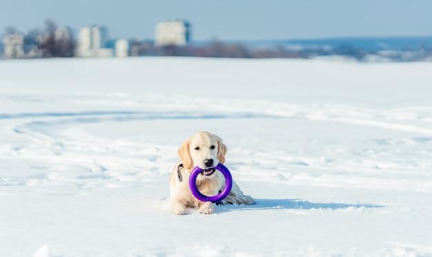 Милая здоровая собака, лежащая на снегу с игрушечным кольцом во рту